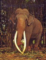 Sri Lanka's Tame Elephants