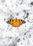 Painted Lady: Set of Ten Butterfly Conservation Greetings Cards