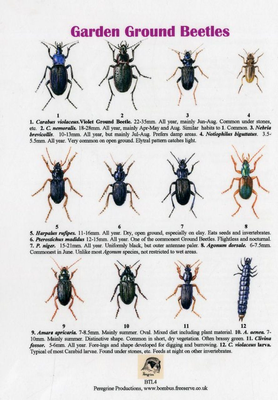 Garden Ground Beetles