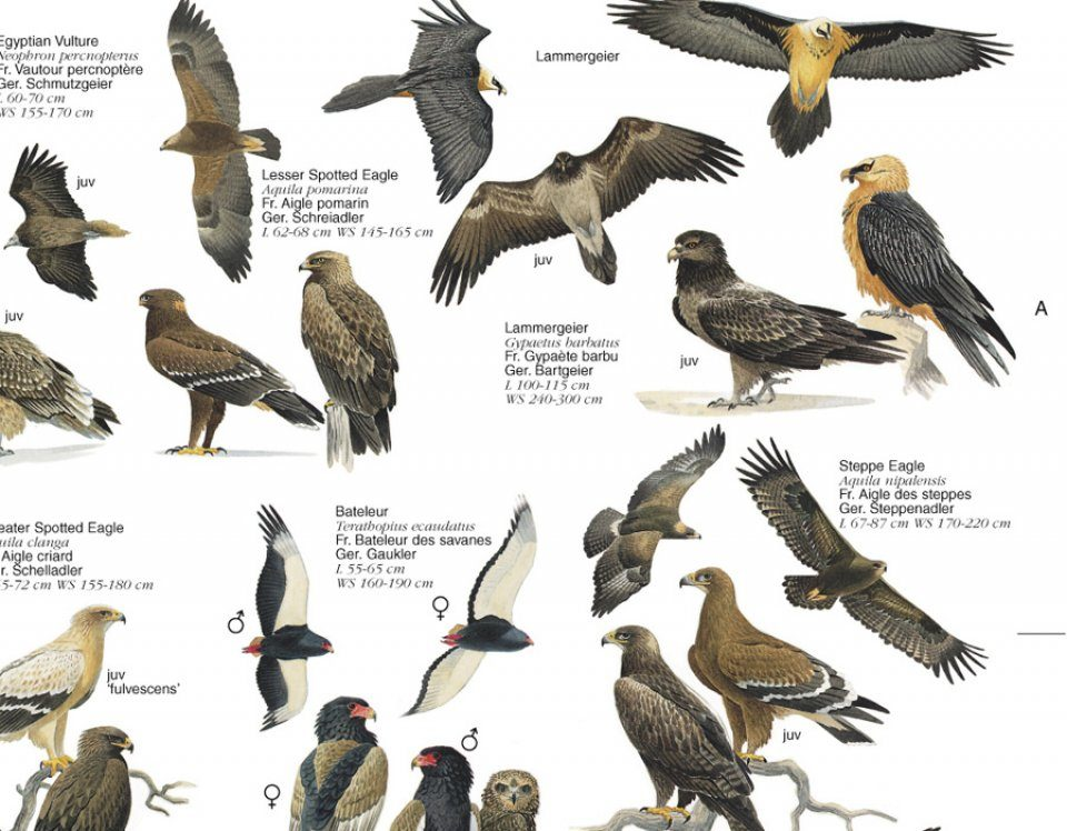 Birds Of Prey British Isles And Europe Poster Nhbs Field Guides Natural History