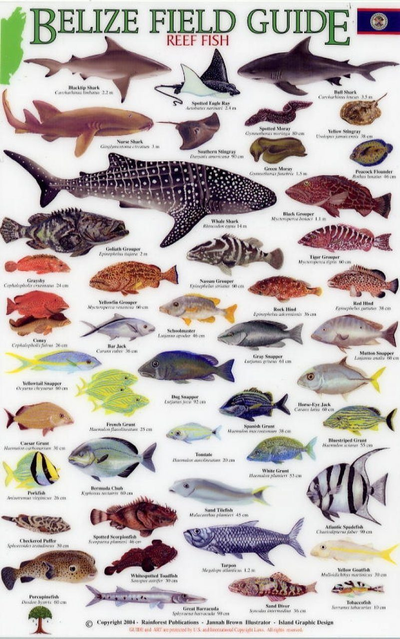 Belize field guides reef fish jannah brown nhbs book shop belize field guides reef fish field identification guide sciox Images