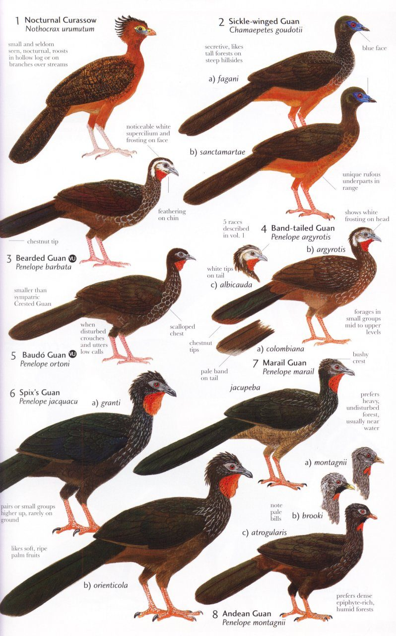 Birds of Northern South America An Identification Guide Plates and Maps Volume 2