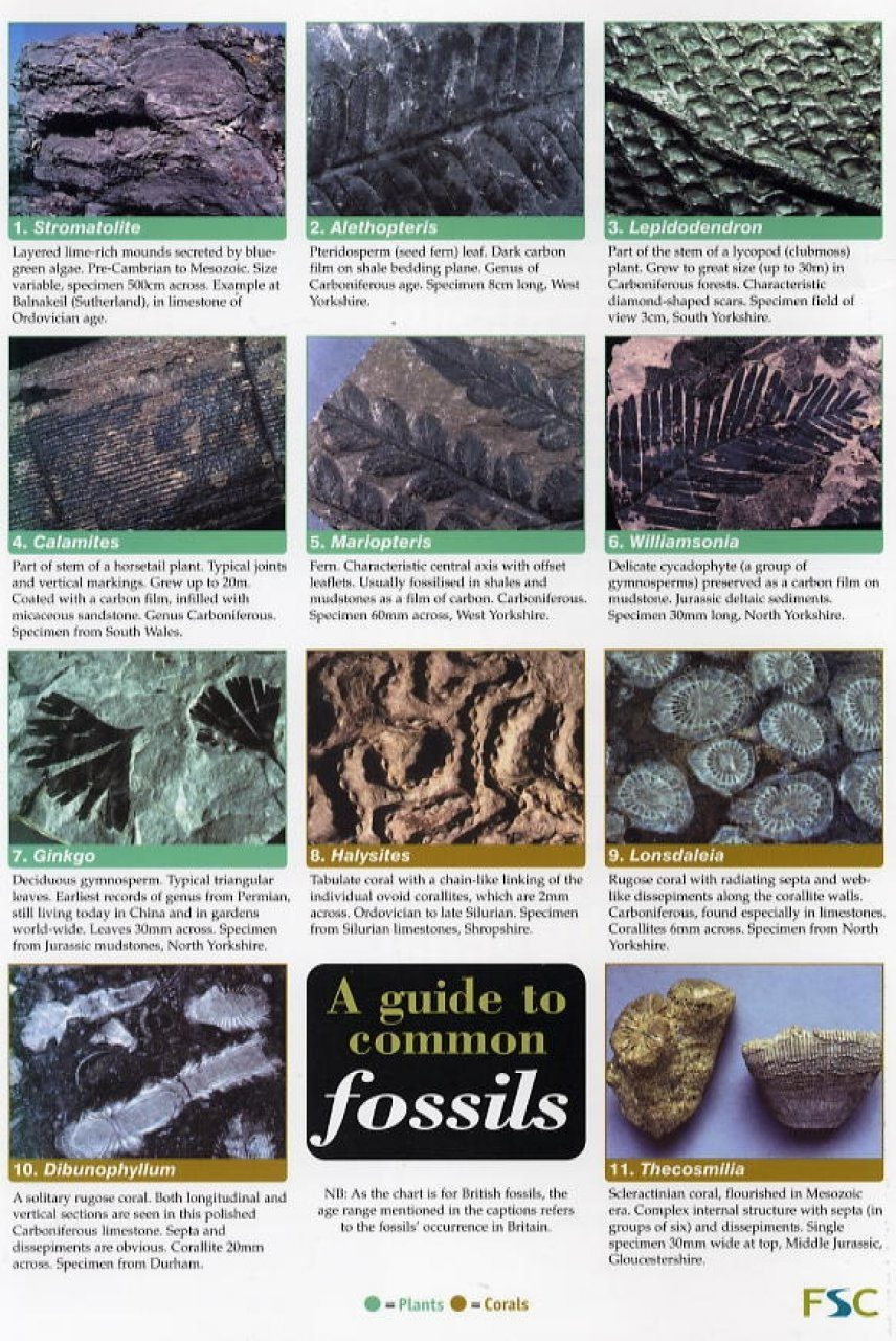 A Guide to Common Fossils