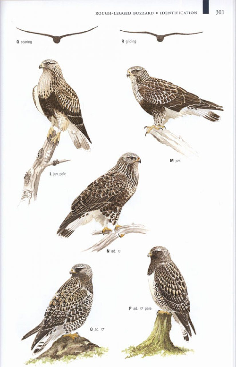 Collins Birds Of Prey Nhbs Field Guides Natural History
