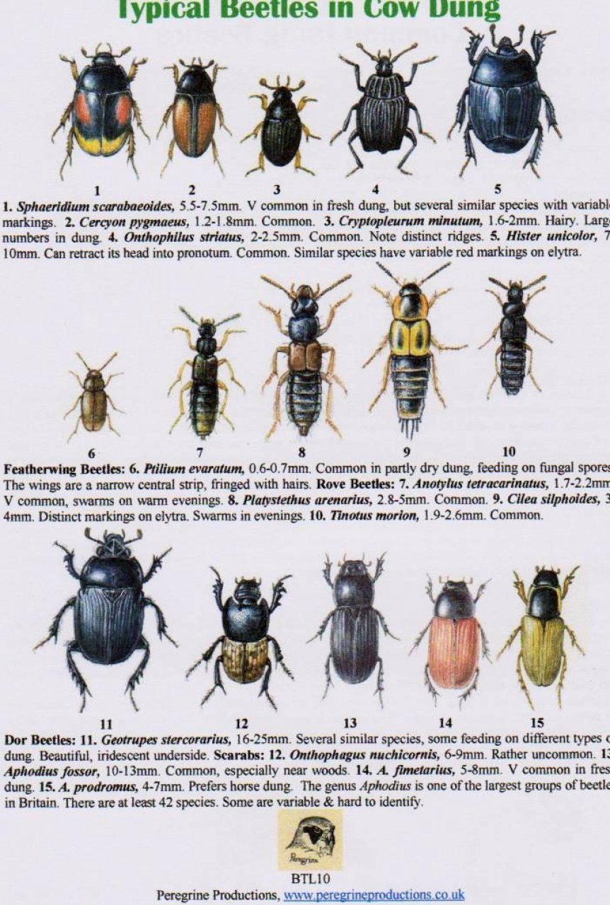 Typical Beetles in Cow Dung   Common Dung Beetles  Field   Identification  Guide. Typical Beetles in Cow Dung   Common Dung Beetles  Peregrine
