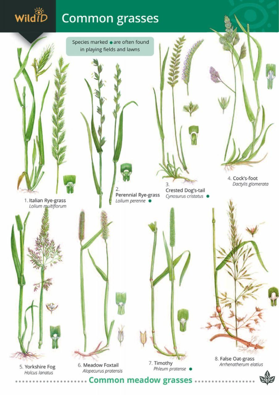 Guide to Common Grasses