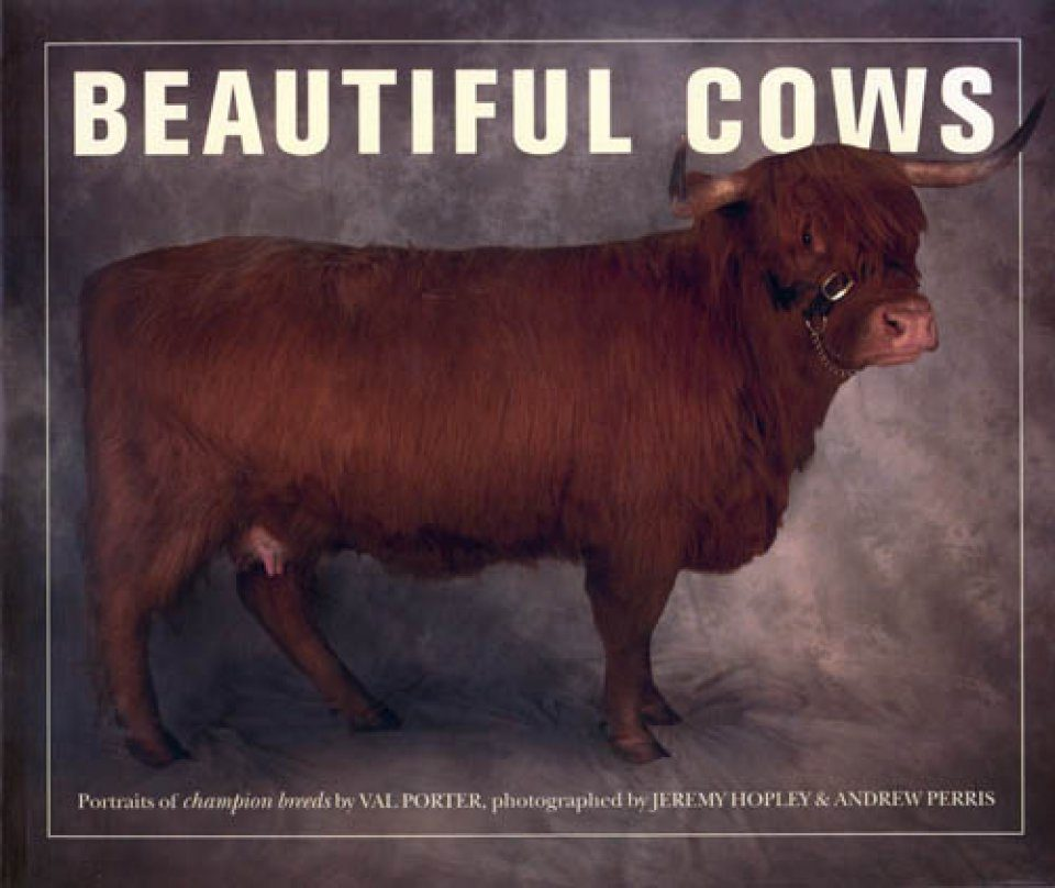 Beautiful Cows