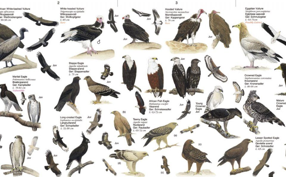 Birds Of Prey Southern Africa Nhbs Field Guides Natural History