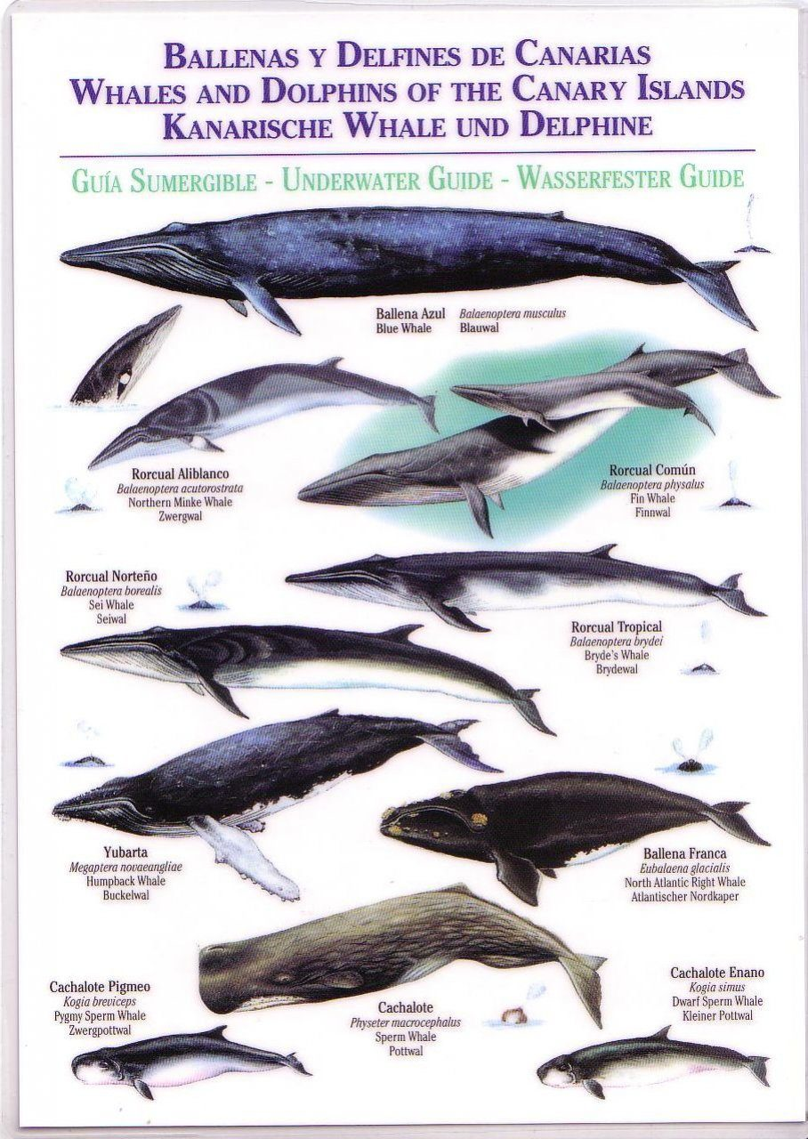 Whales and Dolphins of the Canary Islands / Ballenas y Delfines de Canarias / Kanarische Whale und Delphine