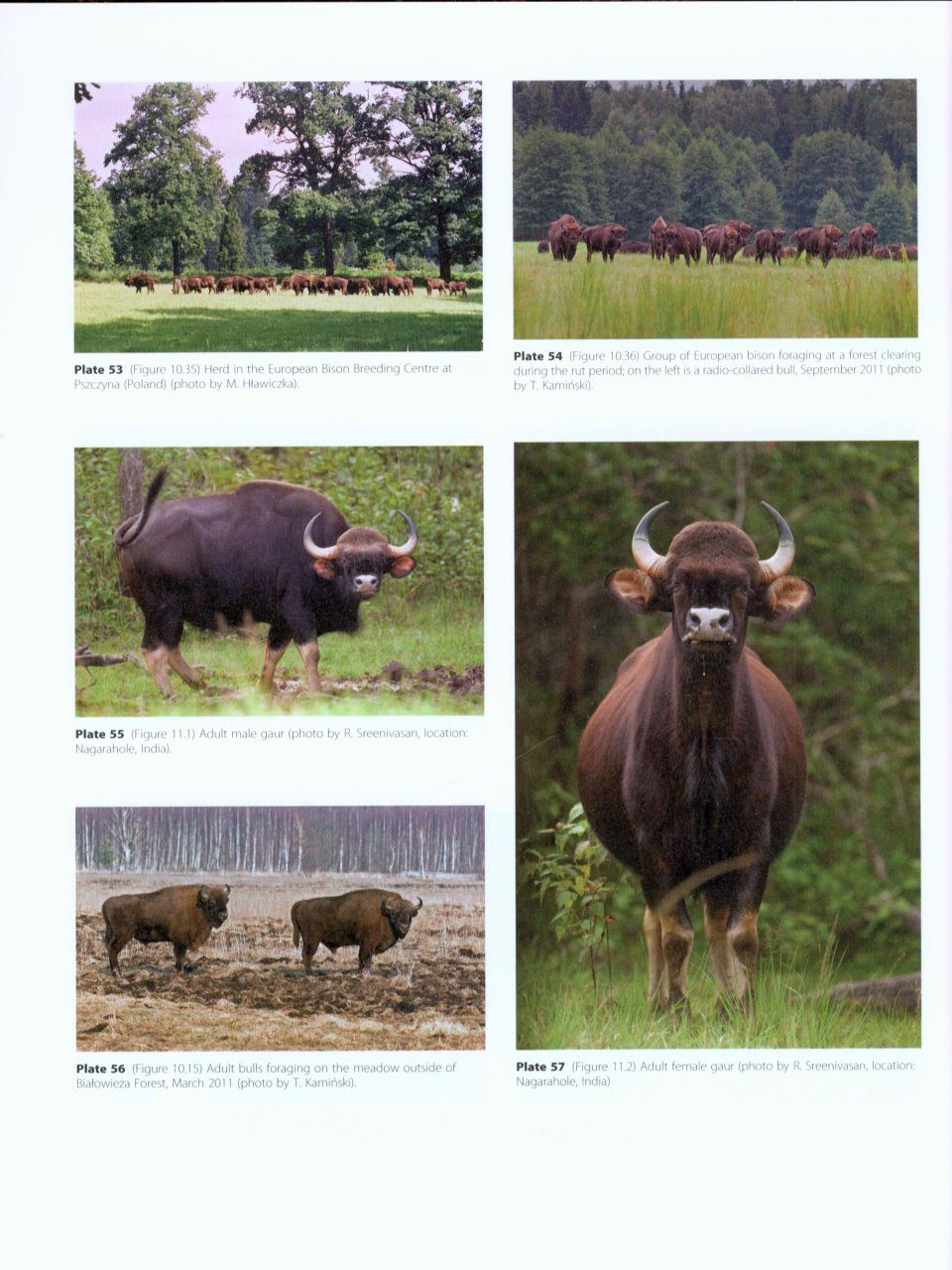 Ecology, Evolution and Behaviour of Wild Cattle: Implications for ...