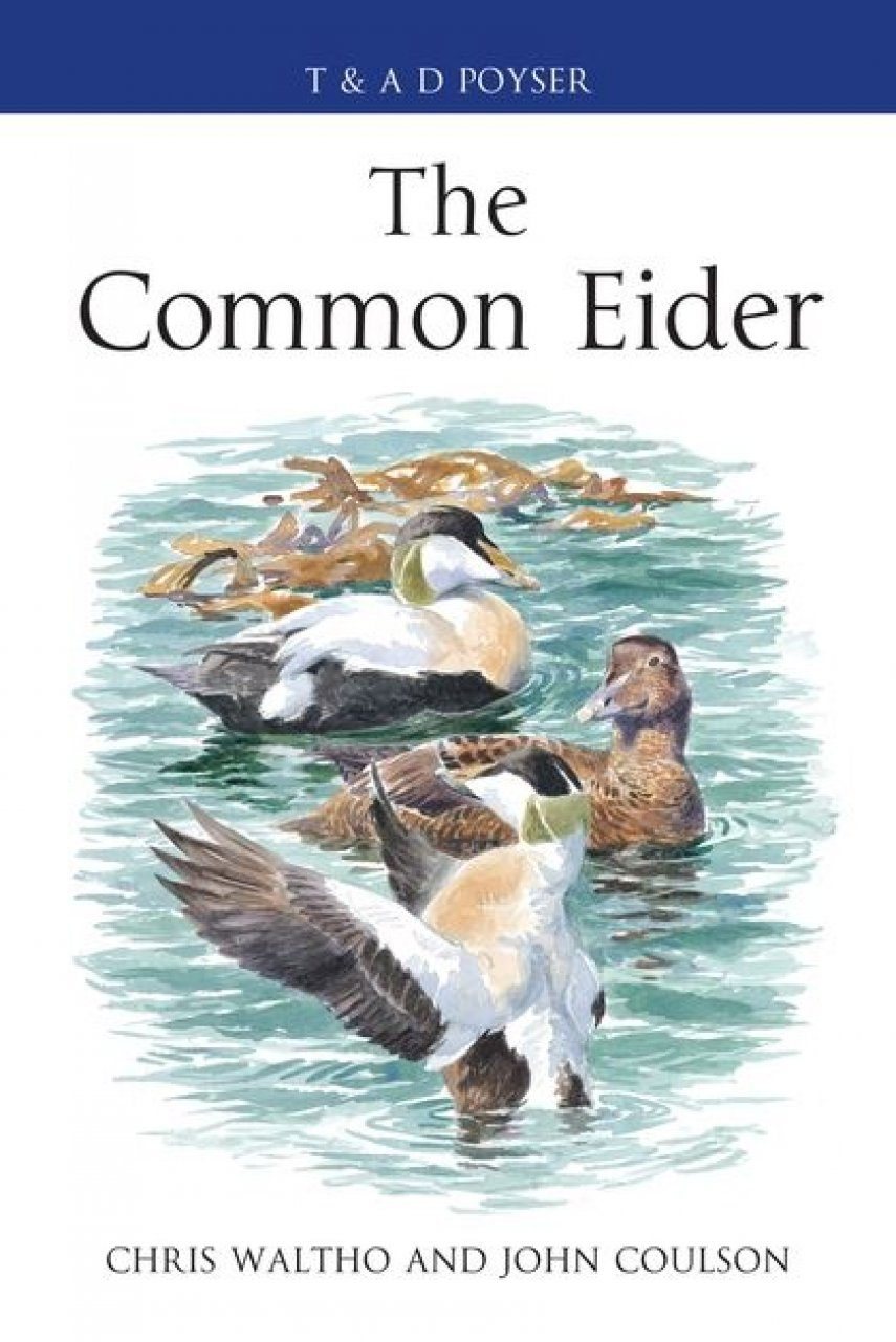 The Common Eider