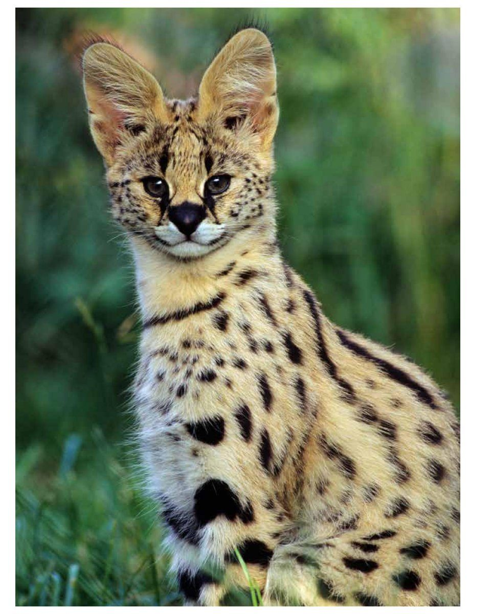 List Of Wild Cats With Pictures