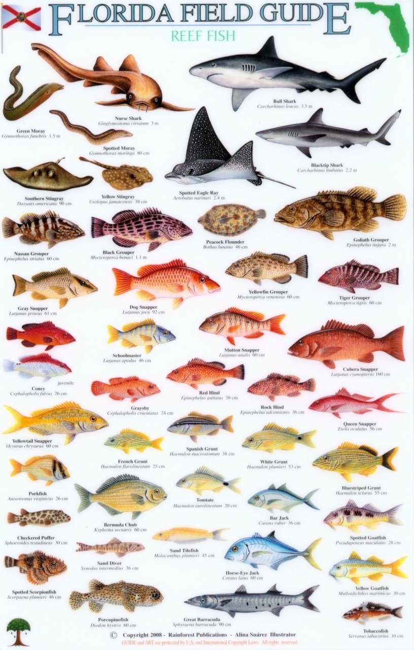 Florida field guide reef fish alina su rez nhbs book shop for Types of fish in the gulf of mexico