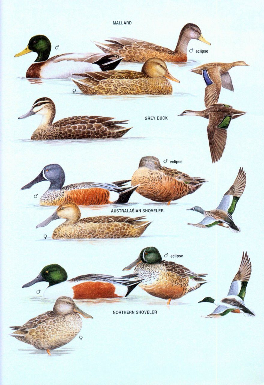 ... The Hand Guide to the Birds of New Zealand ...
