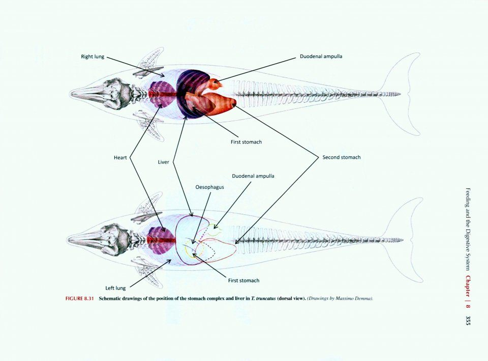Anatomy of Dolphins: Insights into Body Structure and Function ...