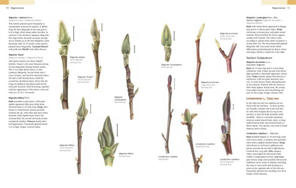Identification of Trees and Shrubs in Winter Using Buds ...