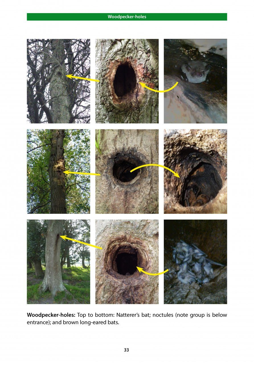 Bat Roosts in Trees