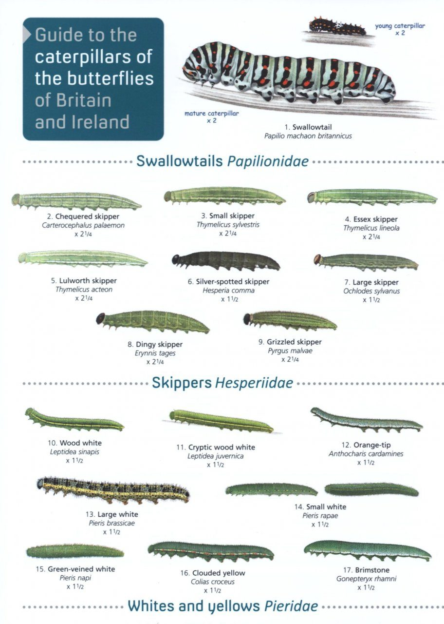 A Guide to the Caterpillars of the Butterflies of Britain and Ireland