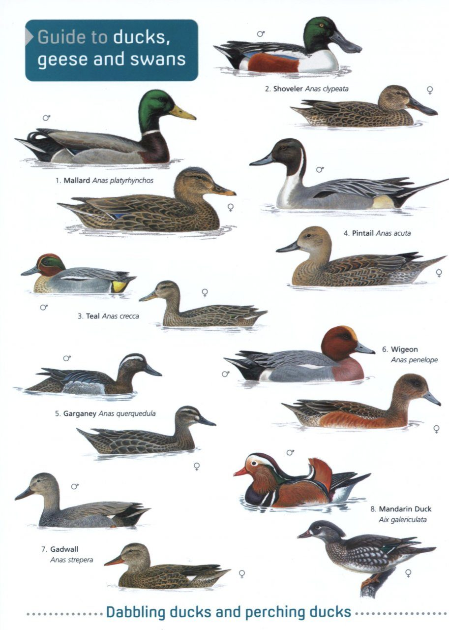 Guide to Ducks, Geese and Swans